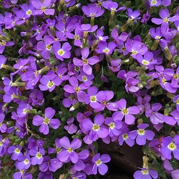 purpleflws
